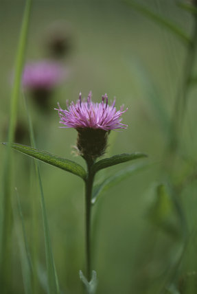 Close shot of Centaurea (Knapweed) at Anglesey Abbey