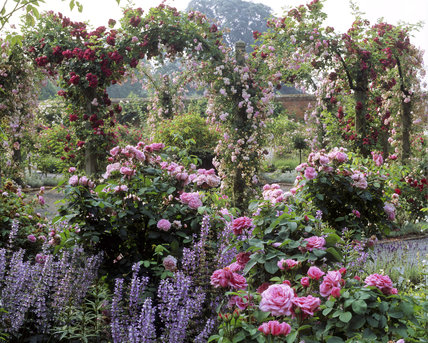 Pink rose bushes and pink and red roses climbing over pergolas create a glorious summer spectacle at Mottisfont Abbey