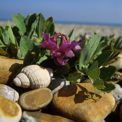 A Sea Pea in full bloom, surrounded by large stones and a shell