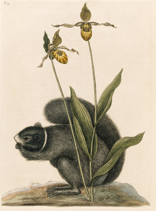Black Squirrel (plate 73), Mark Catesby, The Natural History of Carolina (London 1754) The Library, Blickling Hall