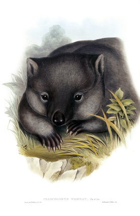 Phascolomys, wombat,illustration from