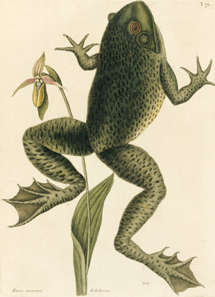 Bull Frog (plate 72), Mark Catesby, The Natural History of Carolina (London, 1754) The Library, Blickling Hall