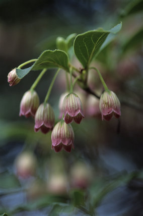 Close up view of Enkianthus Campanulatus at Rowallane in Northern Ireland