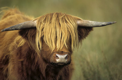 Close-up of the head of a Highland Cow on Park Moor