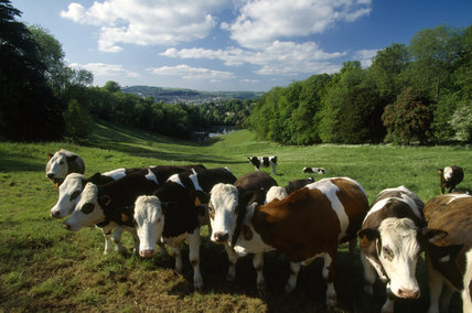 A herd of cows stands in the lush spring pasturage at Prior Park
