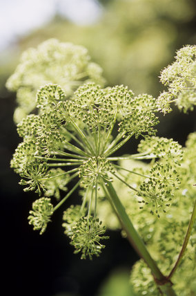 Close-up detail of umbel of Angelica archangelica in the herb garden at Greenway, with bright sunlight