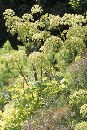 Close-up of a clump of Angelica archangelica, showing the white-green umbels in strong sunlight, in the garden at Greenway