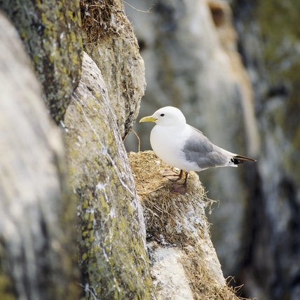 Kittiwake perched on it's nest, on a cliff ledge at Dunstanburgh