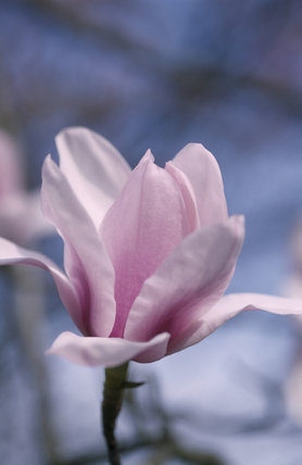 A close up of the magnolia 'Michael Rosse' in the garden at Nymans