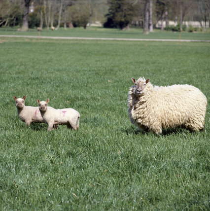 Sheep and two lambs standing in a field at Wimpole Home Farm all looking at the camera