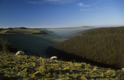 Sheep graze on frost covered grass in autumn sunlight on the chalk downland of Cranborne Chase, Fontmell Down, Dorset