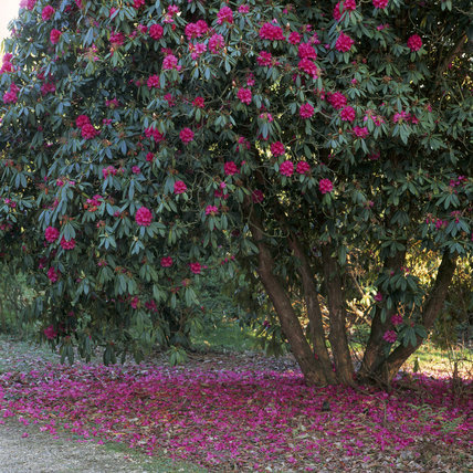 Rhododendron bush in flower, with petals surrounding it on the ground