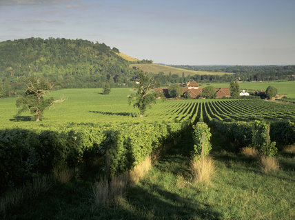 A view East over the vineyard from Denbies Hill showing a house in the middle of it surrounded by trees
