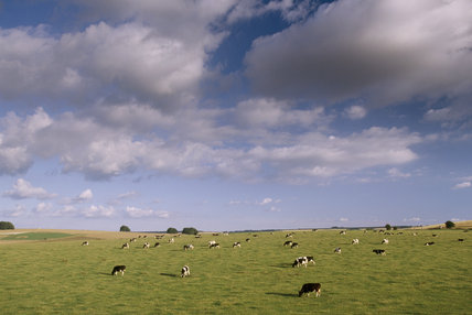 View of cows grazing in fields at Avebury in Wiltshire