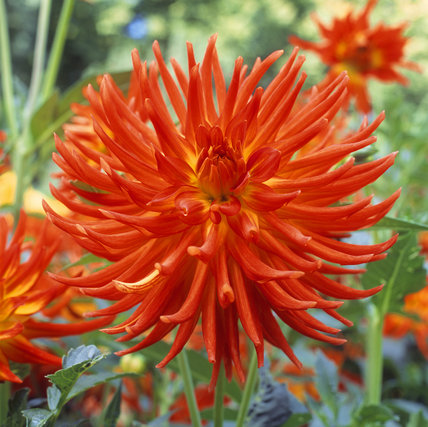 A close view of Dahlia 'Kenora Sunset' - (cactus) red-rust with yellow streaks at centre - at Anglesey Abbey