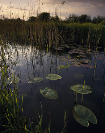 A view of lily ponds, in Drainer's Dyke, Wicken Fen, Cambs