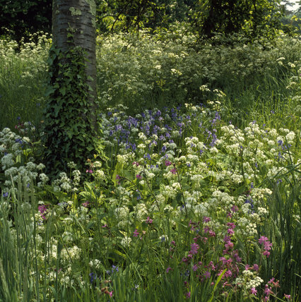Closeup of wild garlic, bluebells and campion, sun dappled, under trees