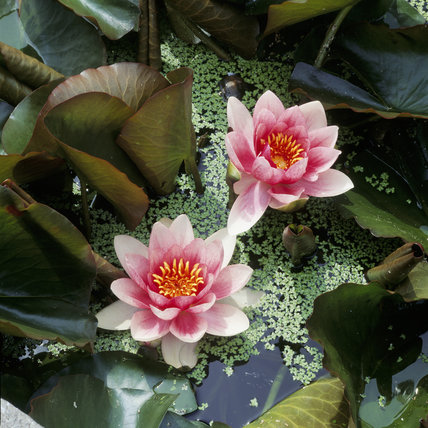 Two blooms of the pink water lily (Nymphaea) 'Escarboucle' in flower on the Canal