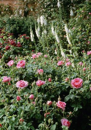 The Rose Garden at Mottisfont Abbey contains over 300 varieties of roses many of which are old French varieties such as this R