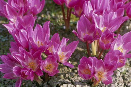 Colchicum Bowles at Felbrigg Hall during autumn, the pink petals become lighter towards the centre of the flower head