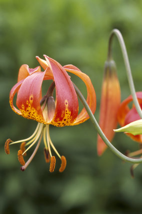 Tiger lily, Lilium lancifolium, associates well with the hot colour schemes in the herbaceous borders of the Lily gardens at Barrington Court