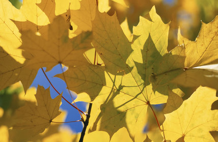 Sunlight shines through Autumnal yellow Sycamore leaves