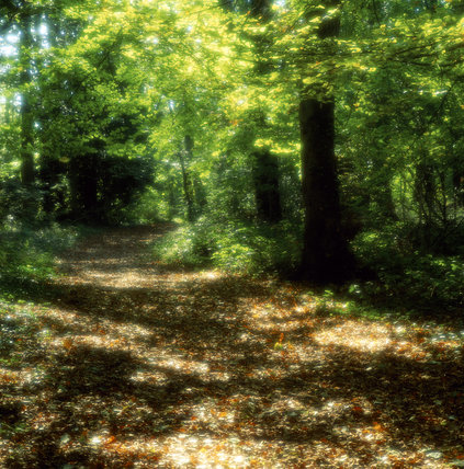 Leaf covered path through Leigh Woods with light filtering through the trees