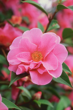 Close-view of a Camellia 'Leonard Messel' at Nymans Garden
