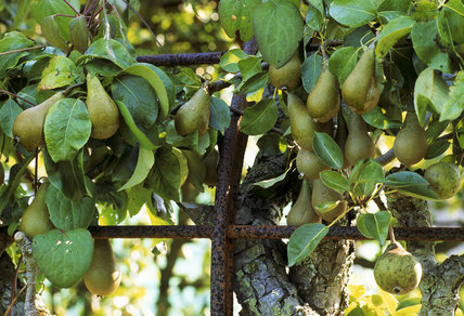 View of fruit growing on the pear arch in the garden at Bateman's