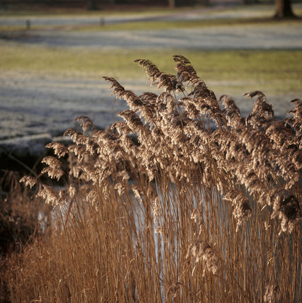 Reeds bordering Sheep Wash Lake in the grounds of Hatchlands, the frost showing up in the light of the early winter morning sun
