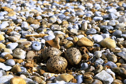 A colourful shingle beach at Blakeney Point, Norfolk, there are some birds eggs in the foreground