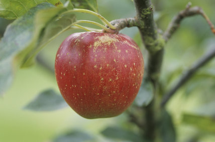A Madresfield Court Apple at Berrington Hall orchard, the apple is red and juicy