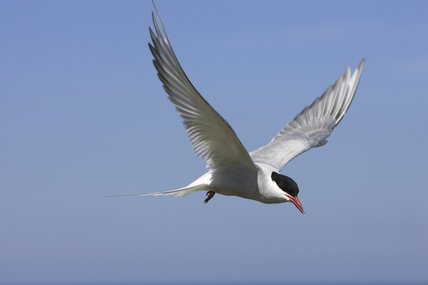 Arctic Tern (Sterna paradisaea) in flight in the Inner Farnes, Farne Islands