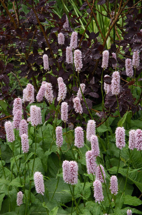 Persicaria ampliacaulis and Cotinus