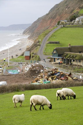 Sheep grazing peacefully above the aftermath of the MSC Napoli shedding its cargo, now washed up on the beach at Branscombe, Devon