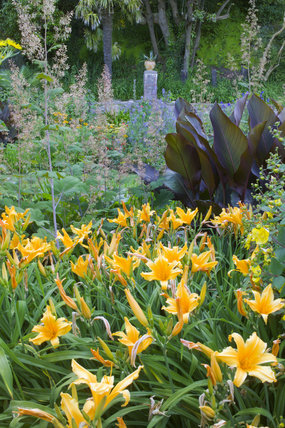 Hemerocallis fulva (Day Lilies), Canna indica and Macleya cordata at Overbecks Garden, Salcombe, Devon