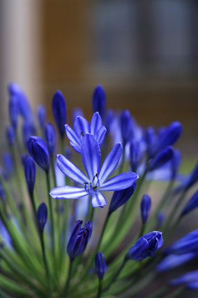 Close view of the vivid blue of an Agapanthus flower on the terrace at Tyntesfield, Wraxall, North Somerset