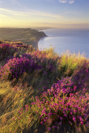 A view from the summit at dawn on the Golden Cap Estate, showing the heather in the foreground and the blue sea in the distance