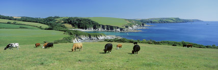 A view of the coastline at Gribbin Head, showing grazing cattle, that are there to encourage the growth of wild flora, under the stewardship of The National Trust