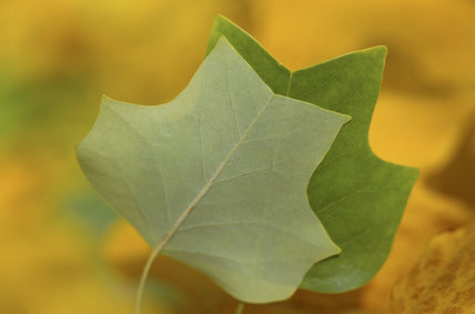 Close-up of leaves of the Tulip Tree (Liriodendron tulipifera) in Sheffield Park