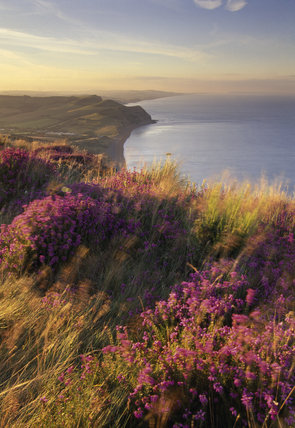 A view over the heather covered cliff top of the coastline on the Golden Cap Estate