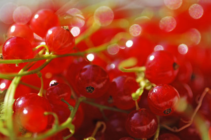 Close view of redcurrants in the Kitchen Garden at Calke Abbey, Derbyshire