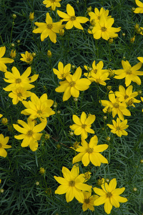 Coreopsis verticillata grandiflora in July at Sissinghurst Castle Garden