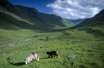White sheep and black lamb grazing alongside Langstrath beck, Borrowdale, Cumbria