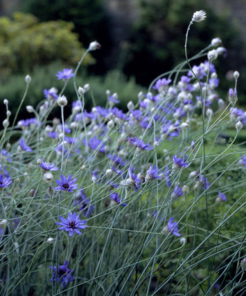 Centaura cyanus (Cornflower) in the Parterre Garden, Washington Old Hall, Tyne and Wear