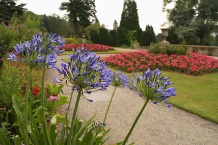 Agapanthus flowers on the terrace with formal beds beyond, at Tyntesfield, Wraxall, North Somerset