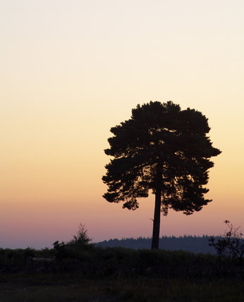 Scots pine tree (Pinus sylvestris)  in the early sunrise looking north on Rockford Common, New Forest, Hampshire