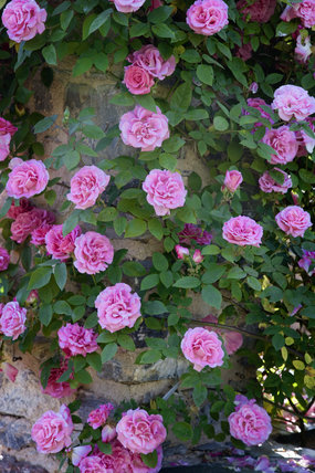 Close view of roses twining around a stone pillar in the Rose Garden at Compton Castle, Devon