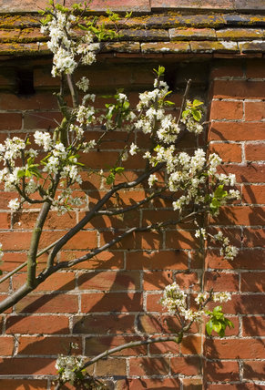 Blossom against the Walled Garden at Coughton Court, Warwickshire