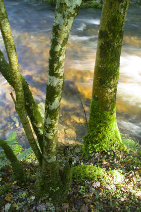 Mossy tree trunks and stream in the ancient oak woodland of Horner Woods, Holnicote Estate, Exmoor, Somerset